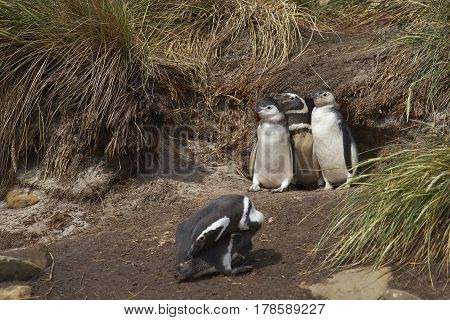 Adult Magellanic Penguin (Spheniscus magellanicus) with two nearly fully grown chicks next to its burrow in a cliff on Sealion Island in the Falkland Islands.