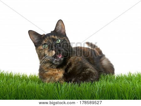 Tortie Torbie tabby cat laying in green grass isolated on white background mouth open tongue to one side as if talking. Talking space.