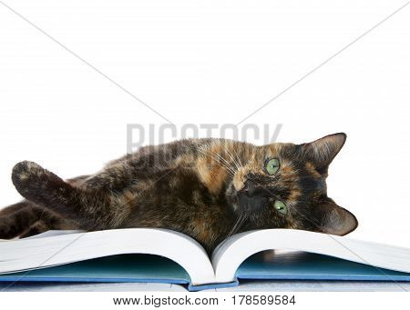 Tortie Torbie tabby cat laying on book looking at viewer isolated on white background.