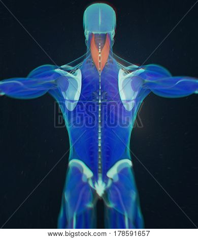 Splenius Capitis, neck muscles, stress, human anatomy. 3D illustration