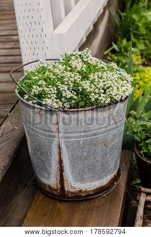 Sweet alyssum planted in a galvanized plastic bucket.