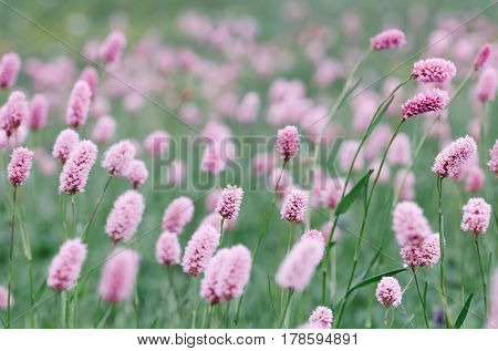 Pink flowers on a glade in the mountains