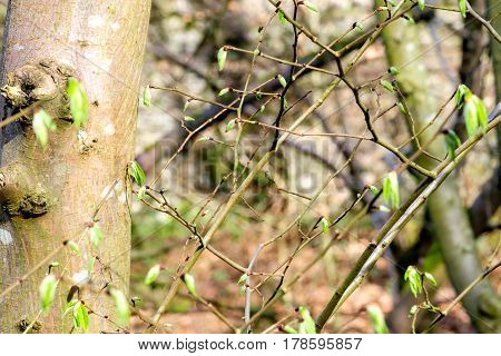 photo of twigs of hazel with leaves and buds