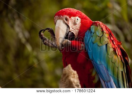 Beautiful multi-colored big parrot gnaws his paw