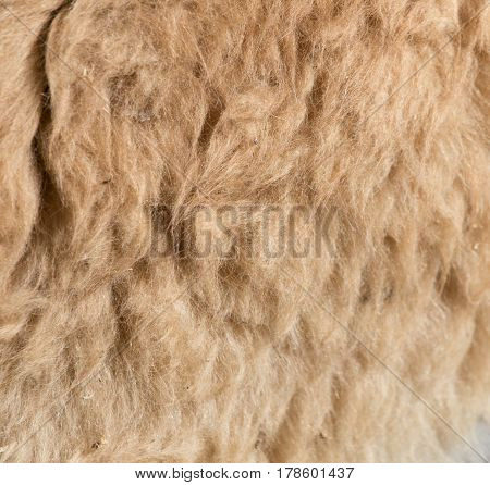 Lama fur as background .A Photo texture