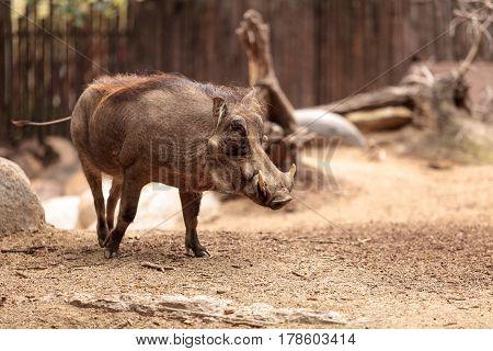 Common Warthog Called Phacochoerus Africanus