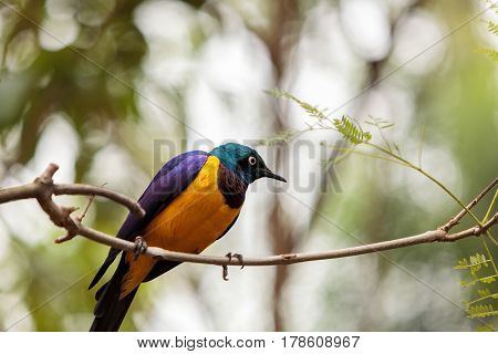 Golden-breasted Starling Called Lamprotornis Regius