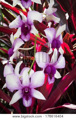 Pink exotic orchids with red leaves in the botanical garden