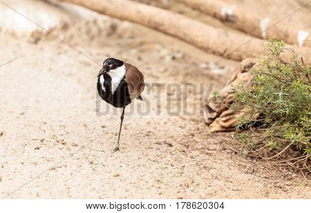 Spur-winged Lapwing Bird Called Vanellus Spinosus