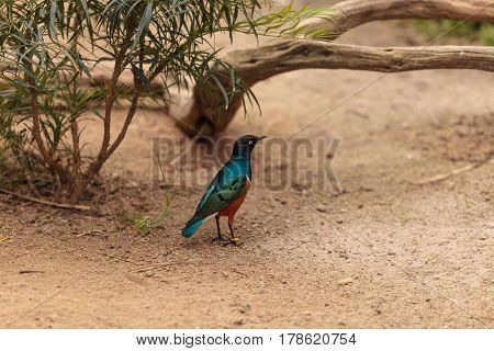 Superb Starling Called Lamprotornis Superbus