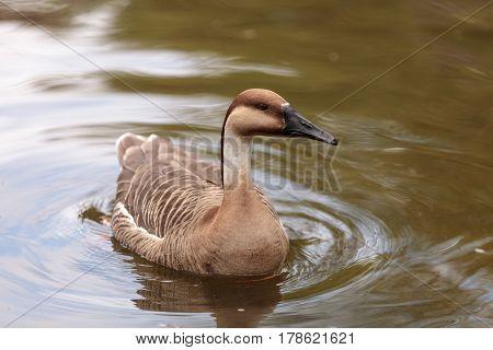 Swan Goose Called Anser Cygnoides