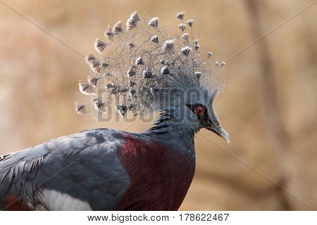 Victoria Crowned Pigeon Called Goura Victoria