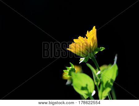 Small Sun flower against black background