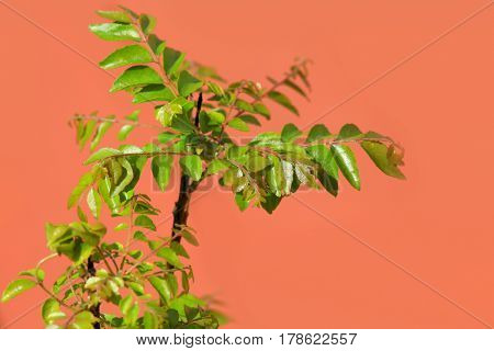 Curry leaves plant against orange background