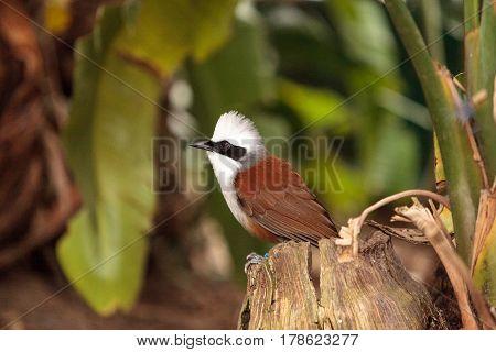 White-crested Laughingthrush Called Garrulax Leucolophus
