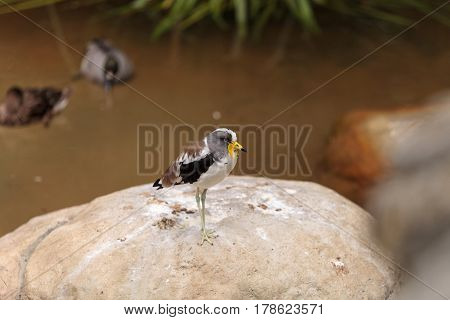 White-headed Lapwing Called Vanellus Albiceps