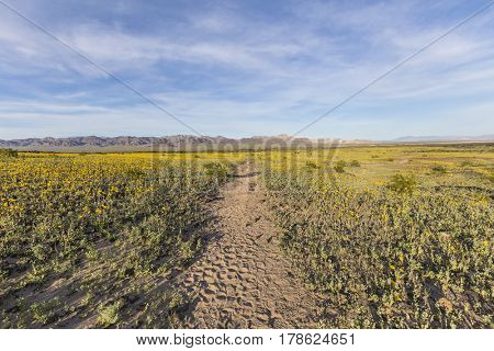 Mojave desert spring wildflowers near Amboy Crater in Southern California.