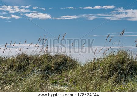 Sea Oats on Sand Dune along the Florida gulf coast