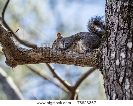 Gray squirrel with bushy tail crouching on limb of tree