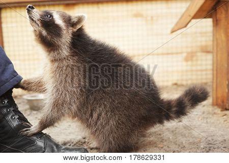 Cute funny raccoon in petting zoo