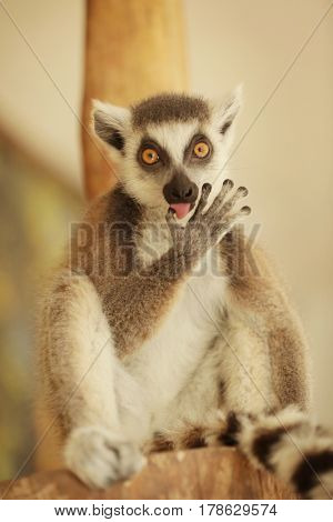 Cute funny ring-tailed lemur in zoological garden, soft focus