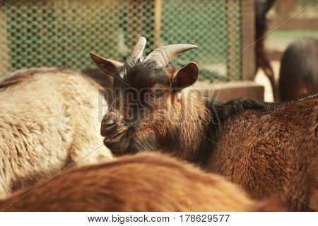 Cute funny goats in zoological garden