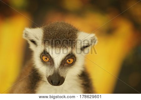 Cute funny ring-tailed lemur on blurred background, closeup