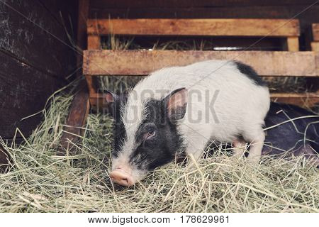 Cute funny pig in zoological garden