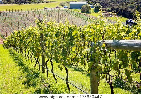 Rows of grapes in vineyard