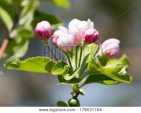 beautiful flowers on the apple tree in nature .