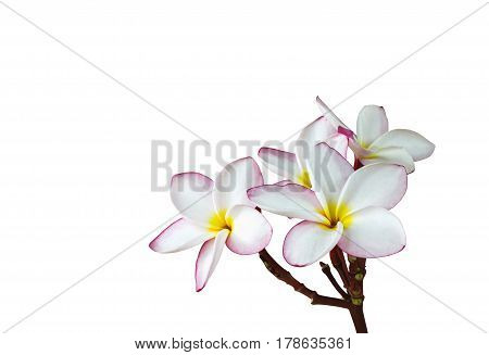 (With clipping path) Isolated beautiful charming pink yellow flower plumeria on white background