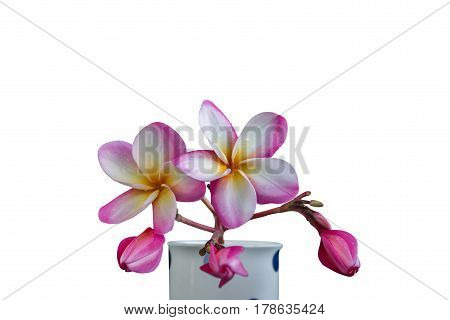 (With clipping path) Isolated beautiful sweet pink flower plumeria on white background