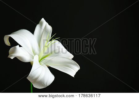 Beautiful white lily on black background