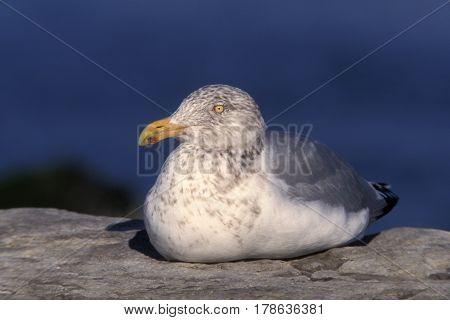 A Herring Gull, Larus argentatus sits on a rock near the ocean