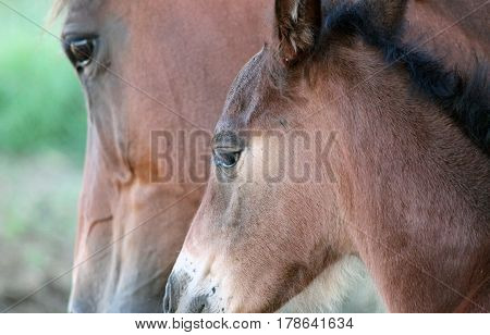 Closeup of Two Horses - a Colt and Mom
