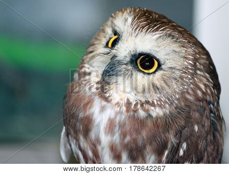 Closeup of a Small and Curious Owl