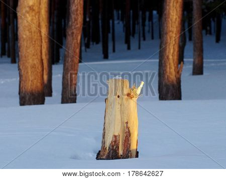 A pine tree stump in the winter forest at the dawn