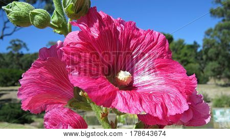 Bright pink hollyhock holly hock flower in bloom against a blue sky in garden  close-up