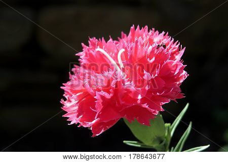 Close-up macro photo of a red carnation against a dark black background. Ruffled petals. Ant insect on flower.  Dianthus caryophyllus