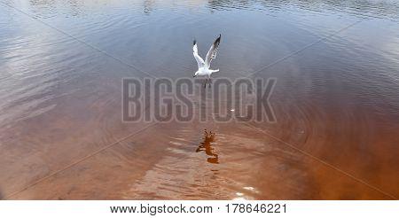 Seagull flying on beach. White seagull soaring in the blue sky over Crokers creek (Belmont - Nine Miles - Beach NSW Australia).