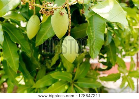 green mango on tree. a mango tree with full of fruits