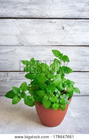 Bush of fragrant mint grown at home in a pot.