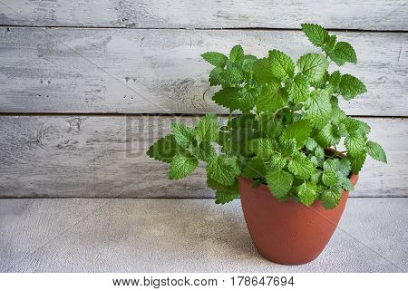 Bush of fragrant mint grown at home in a pot copy space.