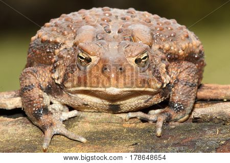 Female American Toad (Bufo americanus) with a green background