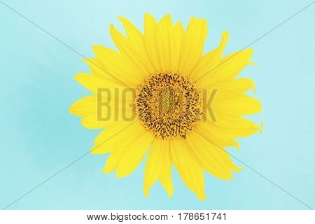 Single yellow sunflower isolated on blue background