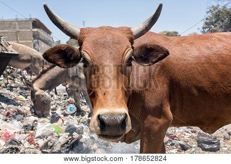 Cows eat food on a garbage dump.