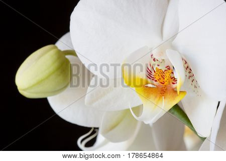 Close up Phalaenopsis moth orchid flowers on black background