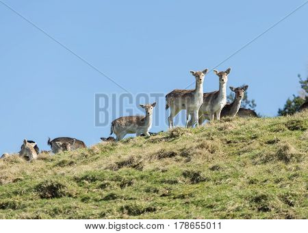 Group of fallow deer looking over a hilltop