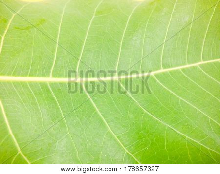 Close up a green bothi leaves background.