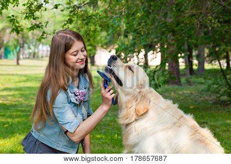 The owner of a pure breed dog fur golden retriever. The pleasure and the joy of hygiene. The content of Labrador. A young girl cares for dog fur outdoors.